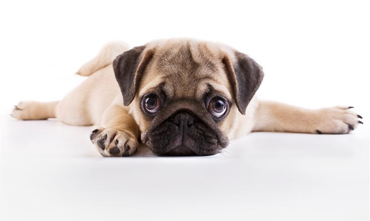 pics of pug puppies top 10 cutest puppies in the world factretriever com 9647