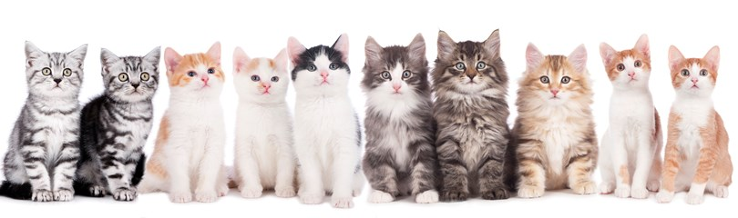 Family Cat Pet Australia
