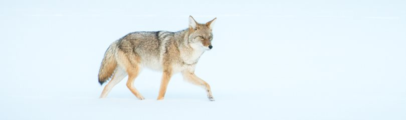 Interesting Coyote Facts