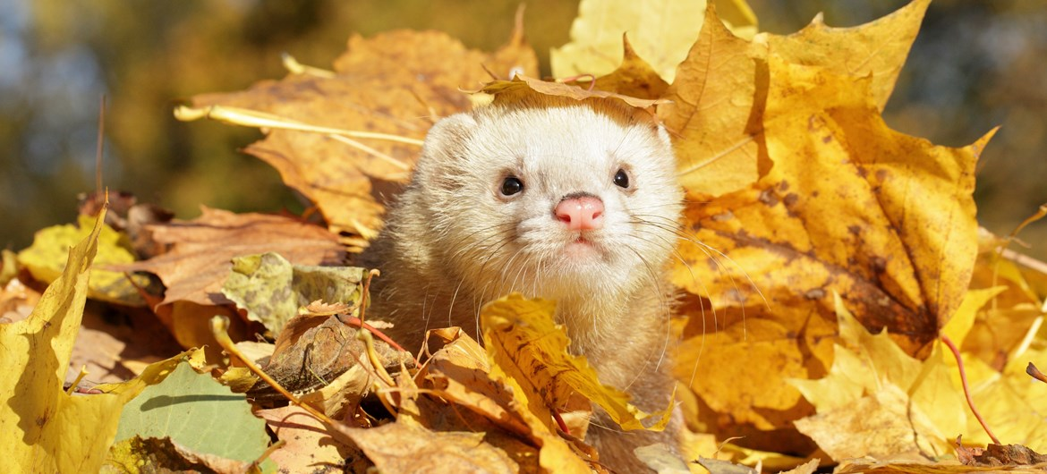 45 Furry Facts about Ferrets | Interesting Ferret Facts