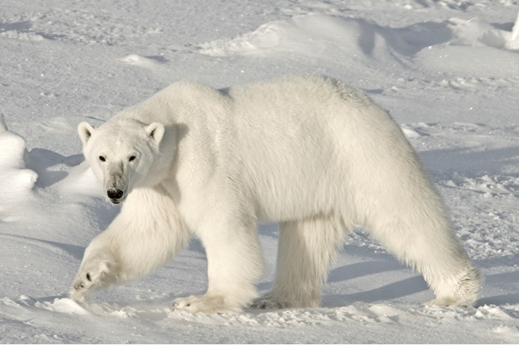 80 Interesting Bear Facts | Random Facts about Bears - photo#30