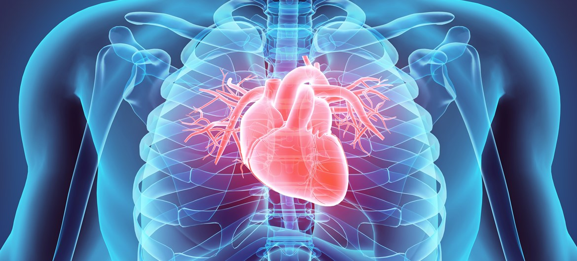 40 interesting human heart facts | factretriever, Muscles