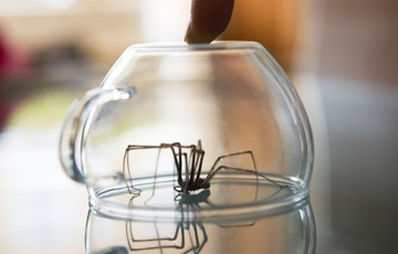 House Spider Facts