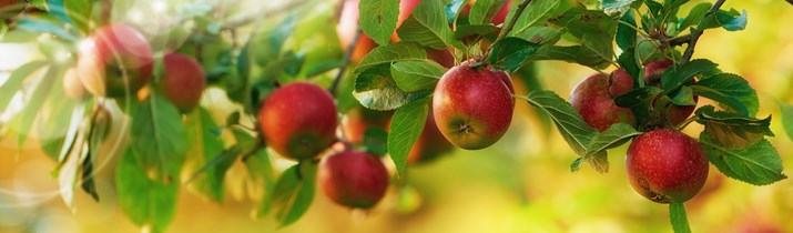 Интересный факт о яблонях