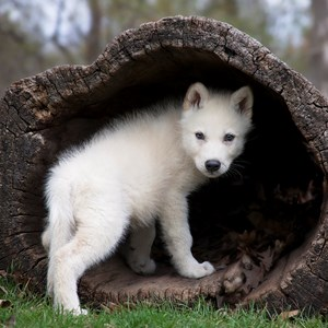 1 Interesting Baby Wolf Fact