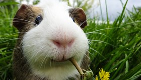 interesting-facts-about-guinea-pigs.jpg