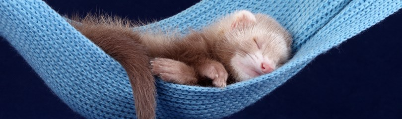 45 Furry Facts about Ferrets
