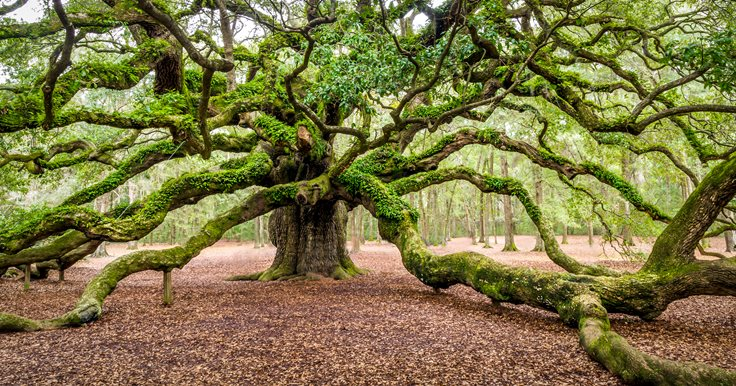 Interesting Angel Oak Tree Fact