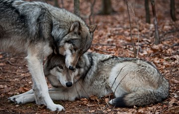 Interesting Wolf Mating Fact