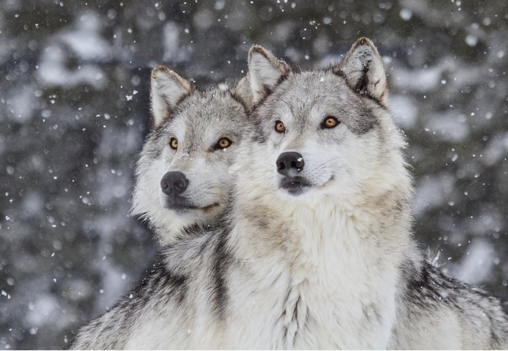 Amazing Wolf Facts