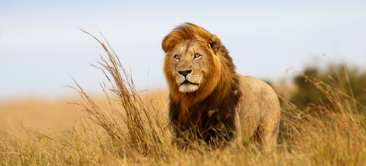 92 roaring facts about lions interesting lion facts
