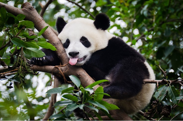 67 Cute Giant Panda Facts|Fun Facts about Giant Pandas