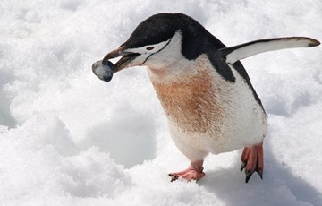 69 Wonderful Facts About Penguins Factretriever Com