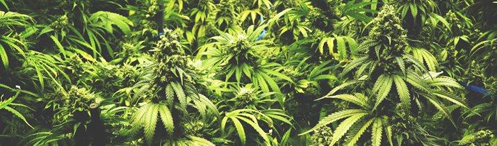 Random Weed Facts