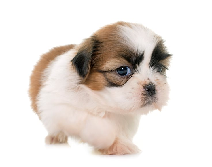Top 10 Cutest Puppies In The World Factretriever Com