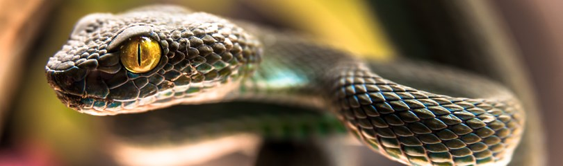 77 Interesting Facts a... Viper Snake Head