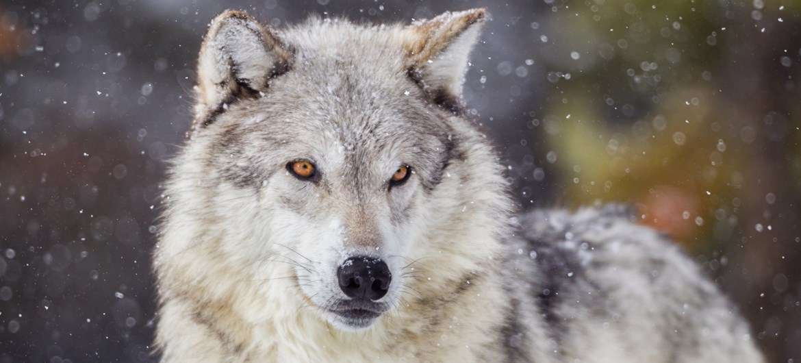 62 Interesting Facts about Wolves| FactRetriever.com